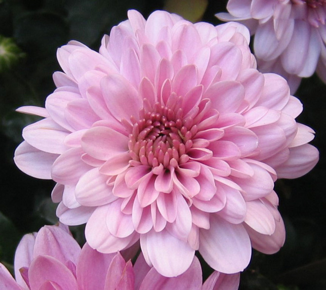 /Chrysanthemum