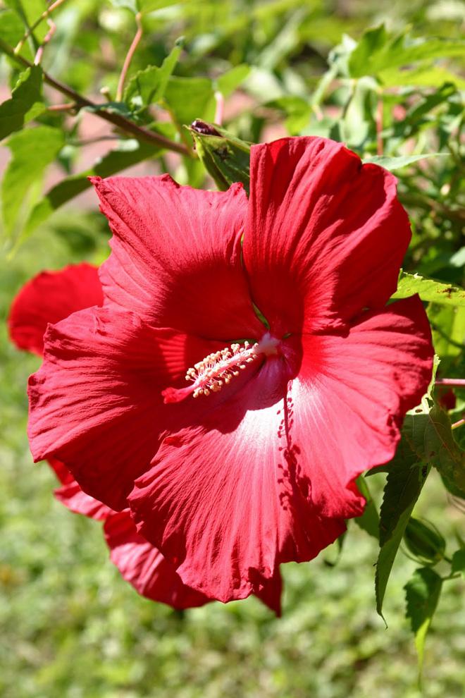 Perennial_Hibiscus