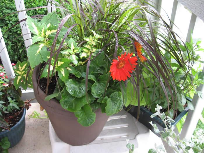 Gerbera Daisy Indoor Plants