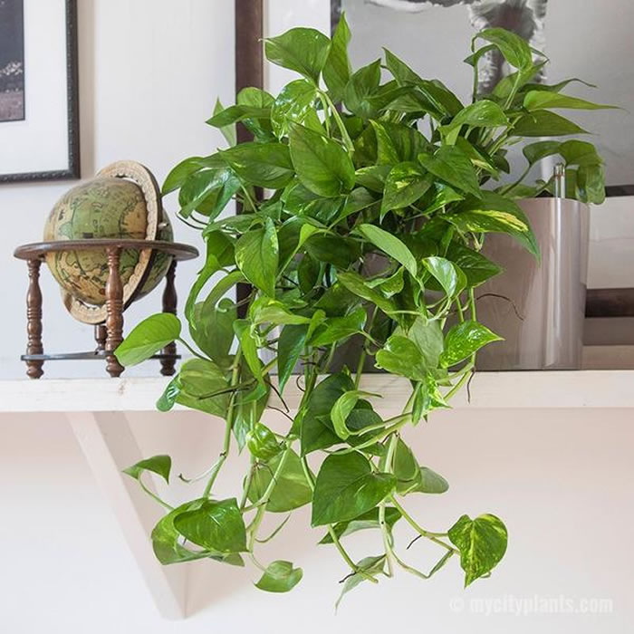 Heart Leaf Philodendron Indoor Plants