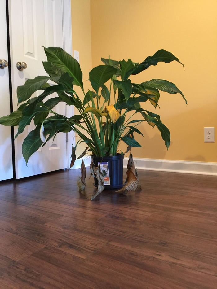 Peace Lily Indoor Plants