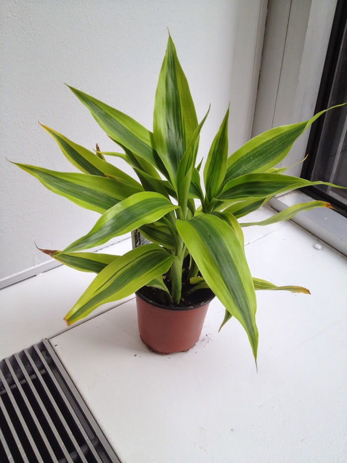Warneck Dracaena Indoor Plants